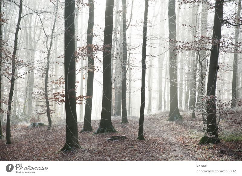 forest solitude Environment Nature Landscape Plant Autumn Winter Fog Ice Frost Tree Leaf Wild plant Tree trunk Forest Stand Growth Bright Loneliness Morning