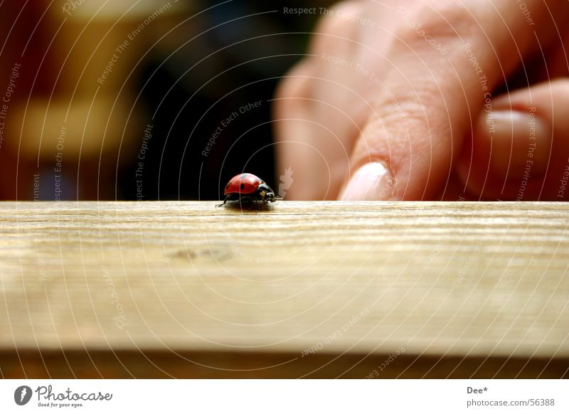 on the run Ladybird Delicate Red Small Animal Fingers Europe Hand Table Furniture Man European Gaudy Helpless Exterior shot Wide angle Close-up Germany Nature