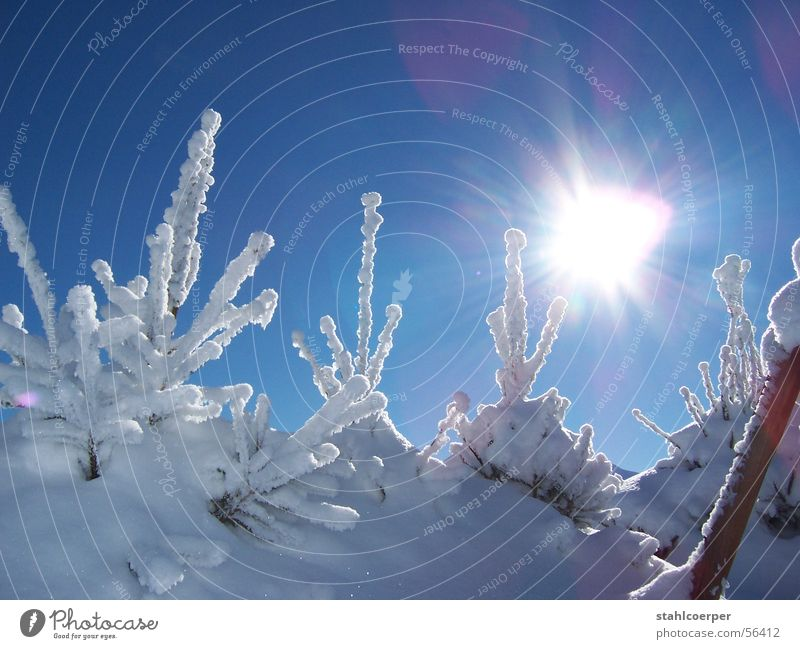 Sun Winter Snow Ice Fir tree Tree Blue sky Virgin snow