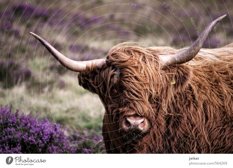 Where's the hairdresser? Farm animal Cow Pelt 1 Animal Vacation & Travel Antlers Scotland Heathland Cattle Highland cattle Subdued colour Exterior shot Day