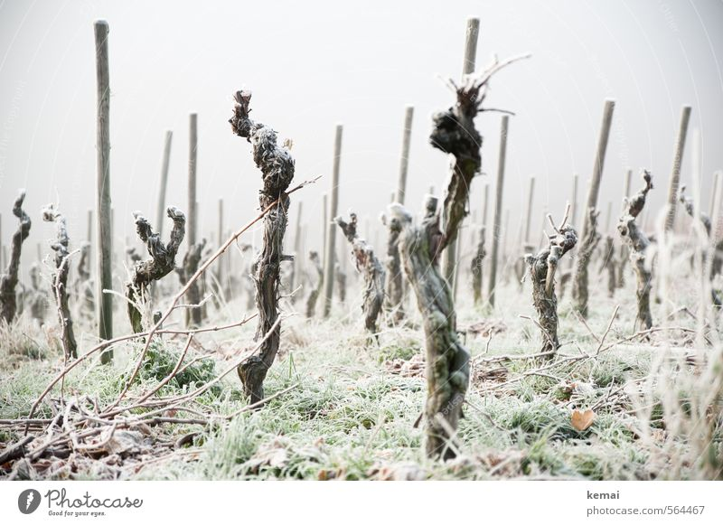 Cold Warriors Environment Nature Winter Bad weather Fog Ice Frost Plant Grass Agricultural crop Vine Many Moody Empty Gloomy Colour photo Subdued colour