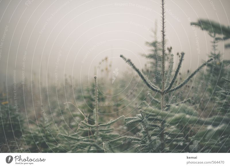 Cold Christmas trees // Ready to be decorated. Environment Nature Plant Winter Bad weather Fog Ice Frost Tree Fir tree Spruce Coniferous trees Green Bleak Many