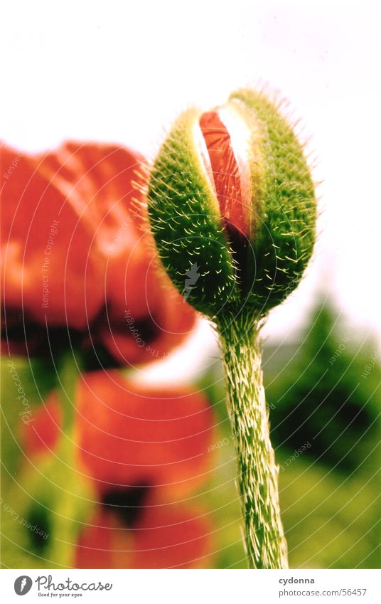 poppy bud Poppy Green Red Blur Plant Flower Summer Maturing time Blossom Macro (Extreme close-up) Close-up Bud Thorn Garden Nature Growth Stalk Electricity