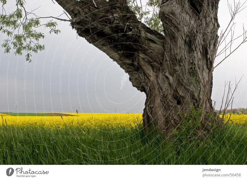 Tree Summer Growth Pasture Wisdom Canola Tree bark Maturing time