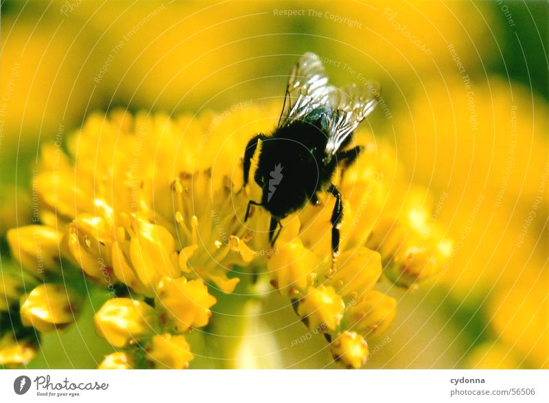 Nature Plant Flower Animal Yellow Colour Blossom Wing Insect Bee Collection Pollen Bumble bee Honey Suck