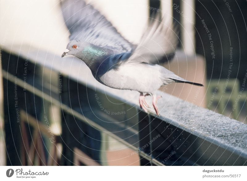Animal Movement Bird Flying Bridge Feather Dynamics Handrail Pigeon Departure Partially visible Snapshot Spa gardens Bad Kissingen district