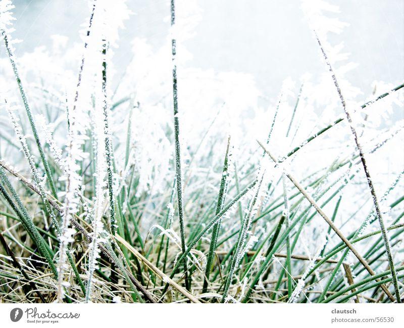 frozen grass Winter Grass Blade of grass Meadow Frozen Freeze Cold Green Thorny Calm Frost Ice Hoar frost Point Blue Nature