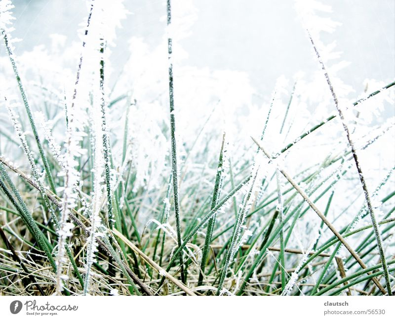 Nature Green Blue Winter Calm Cold Meadow Grass Ice Frost Point Frozen Freeze Blade of grass Hoar frost Thorn