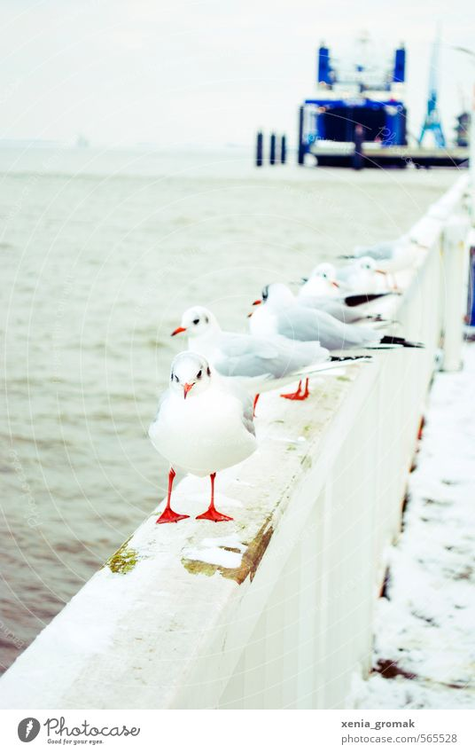 seagull Environment Nature Animal Water Winter Climate Beautiful weather Wind Ice Frost Snow Coast Lakeside Beach North Sea Baltic Sea Ocean Brook