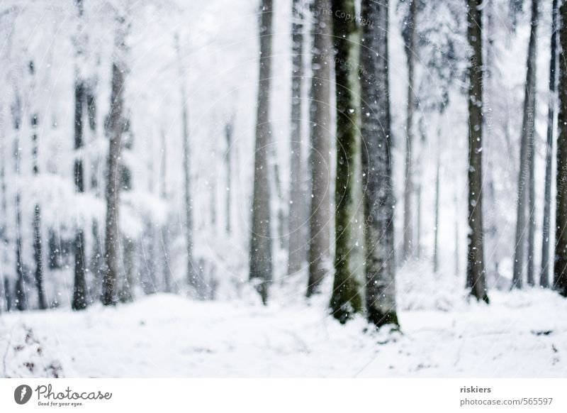 Nature White Plant Tree Calm Winter Forest Cold Environment Snow Moody Snowfall Weather Beautiful weather Fresh
