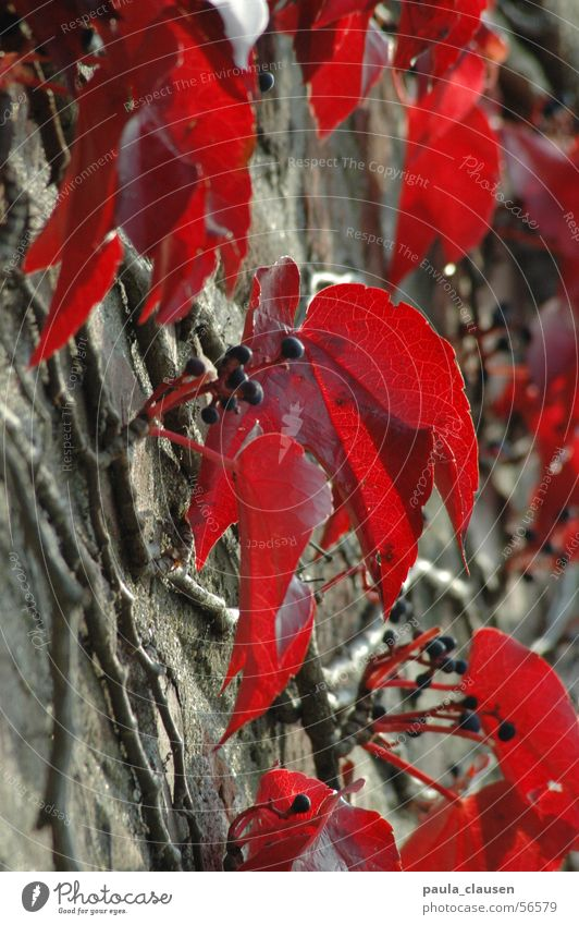 Sun Red Winter Leaf Autumn Sadness Wall (barrier) To go for a walk Branch Berries Root Sunday Vine leaf Virginia Creeper
