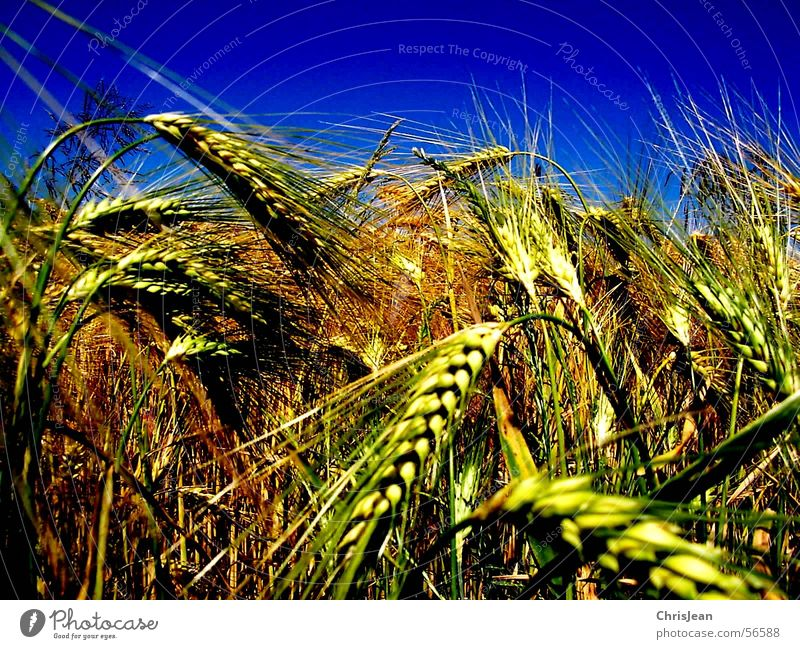 untitled Grain Landscape Field Blue Yellow Wheat Plain Niederrhein Sharp Working in the fields Barley Ear of corn Harvest Americas Blue sky Multicoloured Day