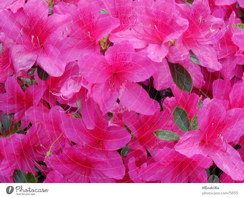 flower lilies Flower Plant Nature