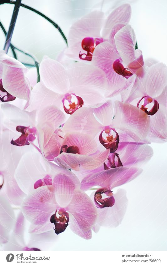 Nature White Flower Plant Pink Romance Pallid Orchid