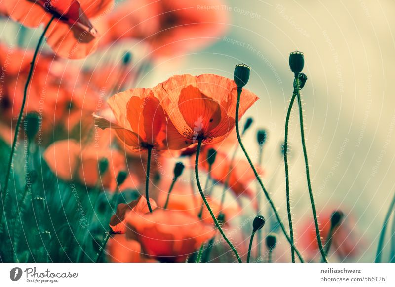 Poppies on summer meadow Summer Sun Garden Environment Nature Plant Spring Flower Grass Meadow Field Blossoming Fragrance Faded Happiness Natural Blue Green Red