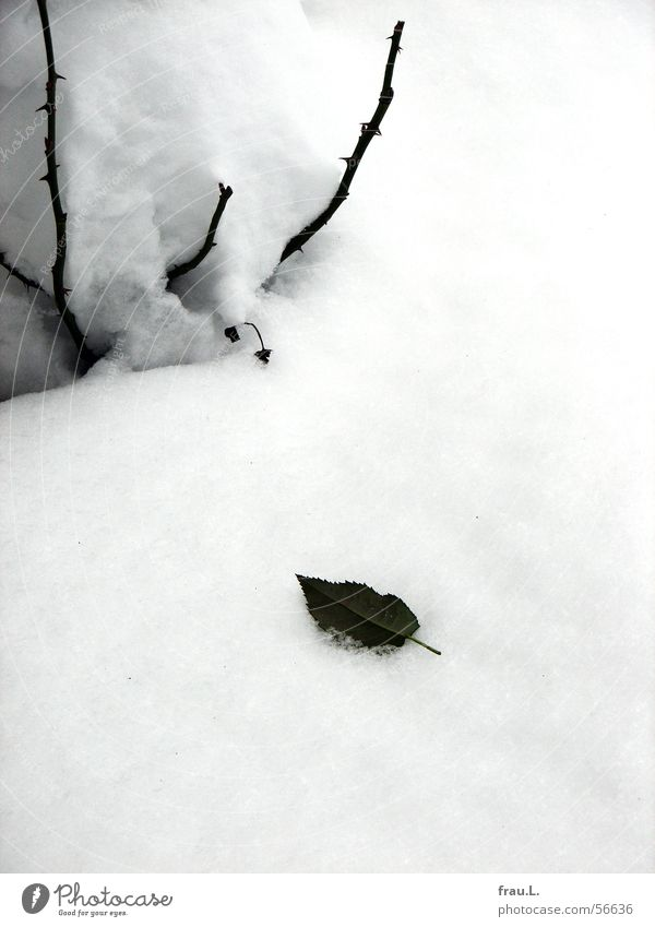 Rose, leaf and snow Rose tree Rose leaves Winter Leaf Balcony Loneliness Romance Flower Grief Winter activities Tree trunk To hibernate augusta luise Snow