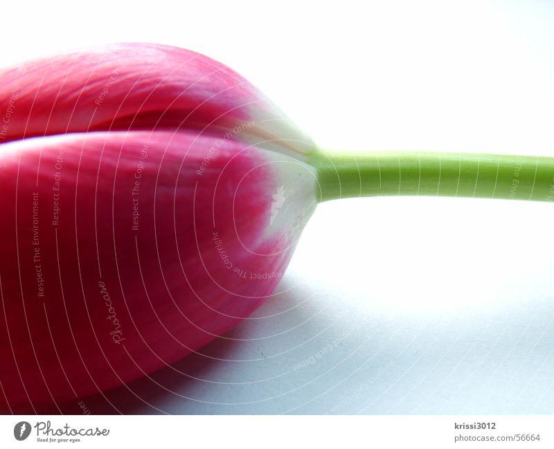 Plant Green White Flower Leaf Spring Blossom Jump Pink Stalk Tulip