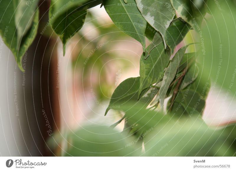 transparency Leaf Blossom Green Fig Ficus benjamina Plant Houseplant