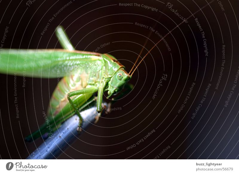 Nature Meadow Grass Insect Blade of grass Locust House cricket