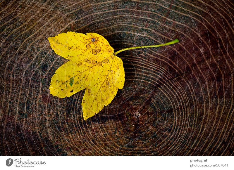 Maple leaf on wood Summer Sun Spring Autumn Weather Wind Gale Leaf Fashion T-shirt Wood To fall Dream Sadness Faded Authentic Happiness Cheap Brown Yellow