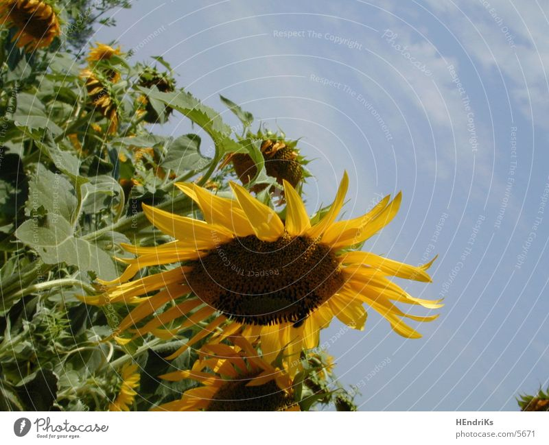 Nature Plant Sunflower