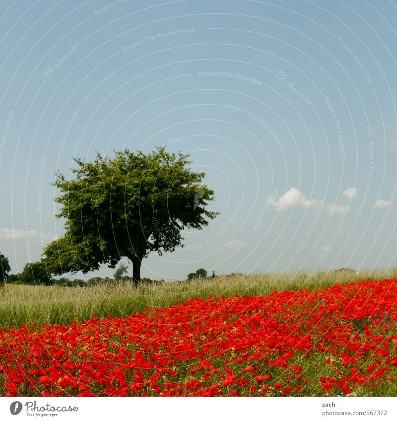 what spring feels like Relaxation Trip Environment Nature Landscape Plant Sky Spring Summer Beautiful weather Tree Flower Grass Blossom Poppy Poppy blossom