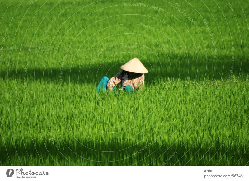 Green Asia China Farmer Thailand Rice Vietnam Bali Indonesia Laos Cambodia Paddy field Rice farmer