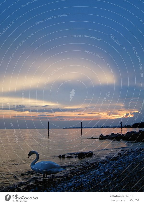 swan's life Swan Lake Sunset Moody Clouds Animal Beach Light Federal State of Vorarlberg Landscape Lake Constance lake of constanze Coast Sky