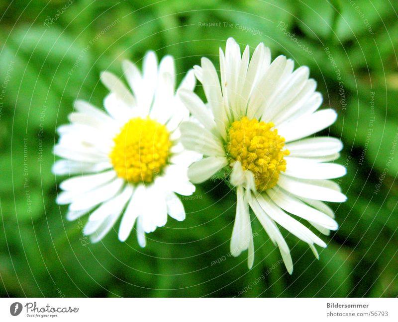Nature Flower Green Summer Yellow Meadow Blossom Daisy