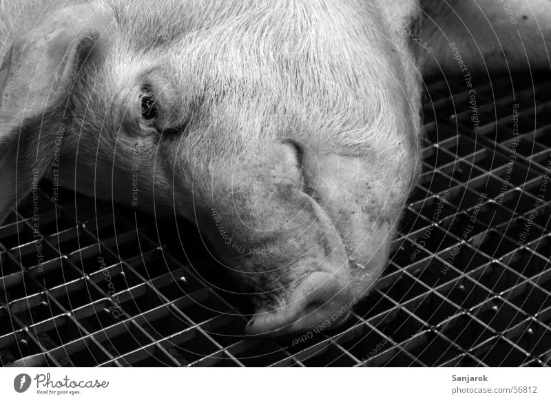 Life is beautiful Swine Killing Slaughterhouse Butcher Grating Bleed to death Blood Brutal Meat Look of death Grief Animal portrait Swinishness Death pig pork