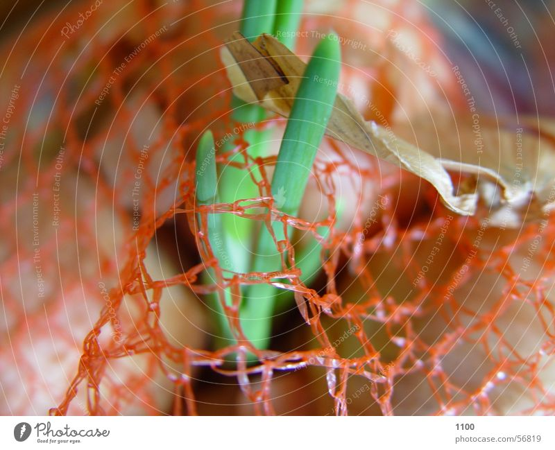 Green Plant Food Orange Growth Kitchen Net Bowl Onion Plantlet Ingredients Breach Germ Onion skin Onion seedling