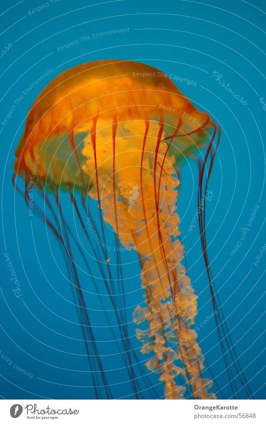 Ocean Blue Animal Dangerous Threat Poison Jellyfish
