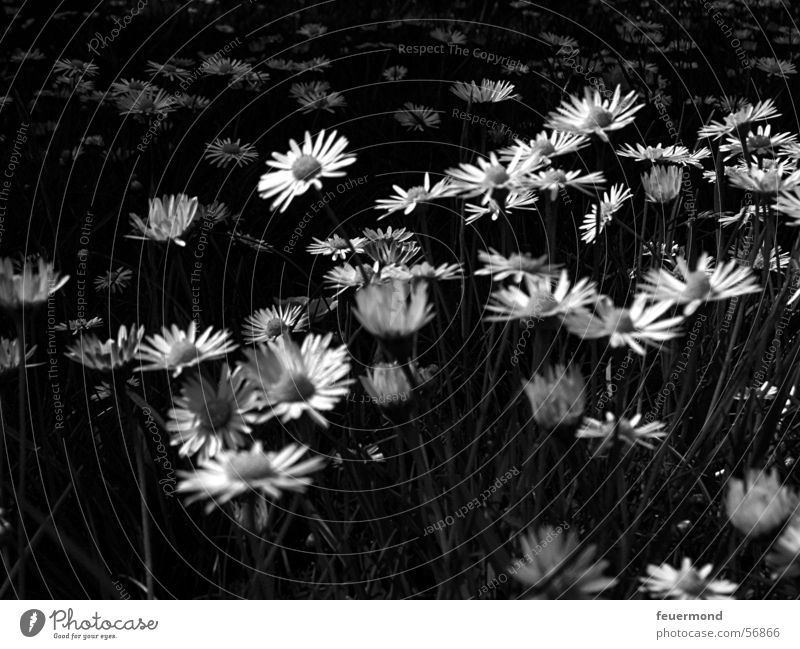 Spring fever in black and white Daisy Blossom Flower Meadow Summer Grass Black & white photo bloom