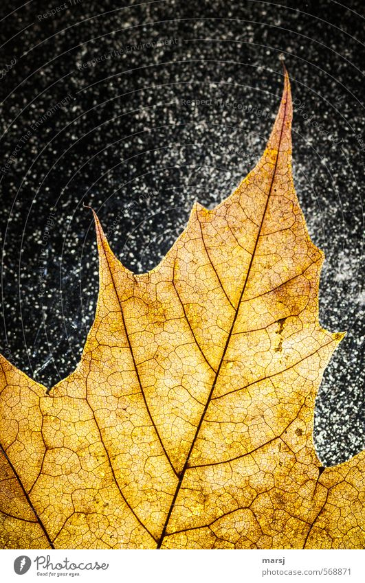 Nature Old Plant Summer Leaf Yellow Senior citizen Autumn Snowfall Gold Glittering Illuminate Happiness Simple Transience Uniqueness
