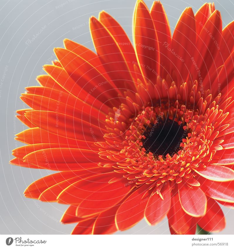 Nature Flower Red Meadow Digital photography Gerbera Mother's Day