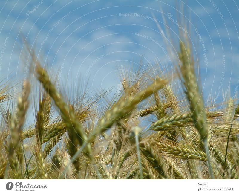 kornfeld2 Cornfield Wheat Clouds Grain eras Sky