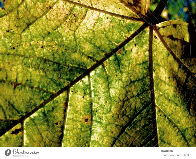 leaf structure Leaf Green Yellow Pattern Vessel Autumn Nature Structures and shapes Detail