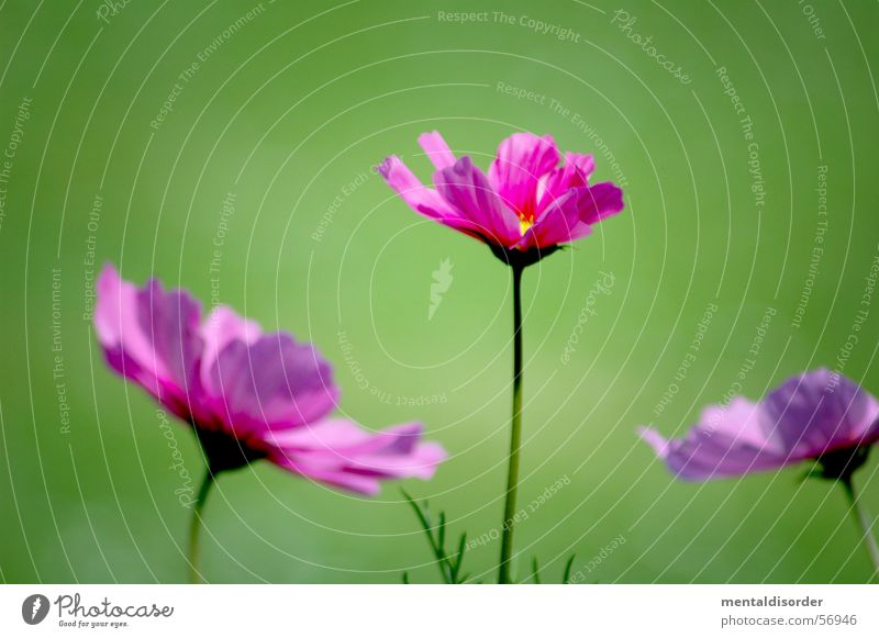 Nature Flower Green Plant Leaf Blossom Pink Background picture 3 Romance Violet Orchid