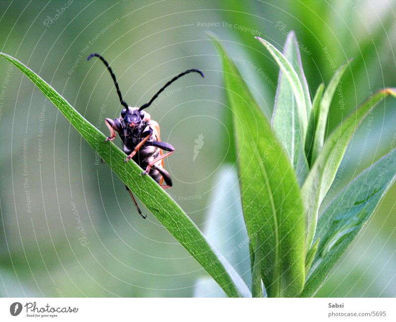 Leaf Blade of grass Beetle Feeler