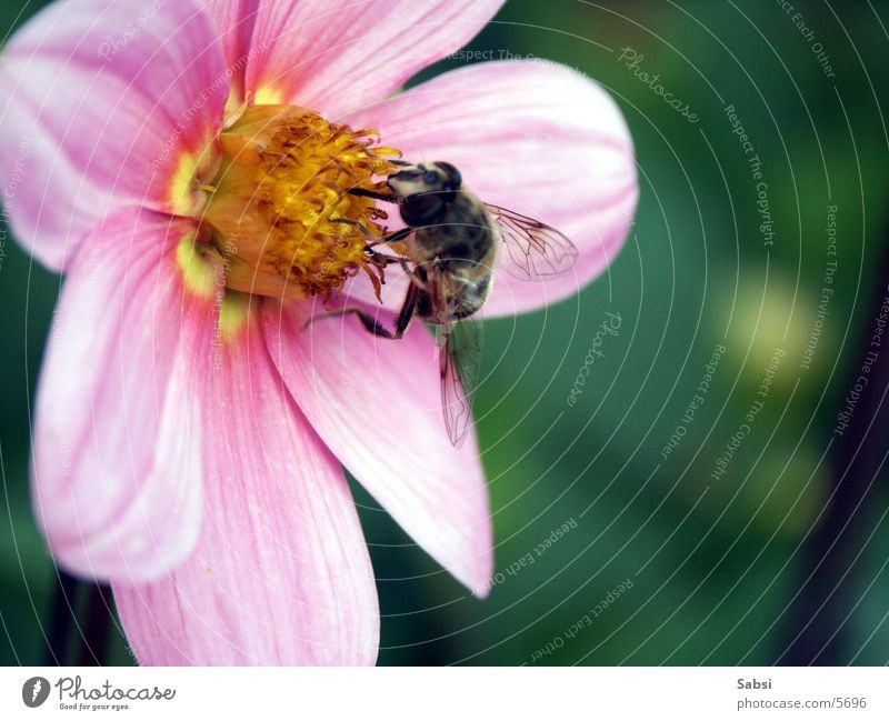 honey collector Bee Flower Blossom Insect Honey bee Wing Macro (Extreme close-up)