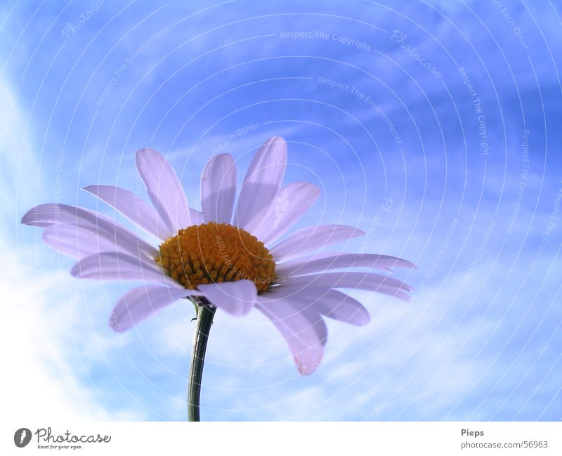 Nature Sky Flower Blue Summer Clouds Meadow Blossom Spring Transience Blossoming Marguerite Blossom leave