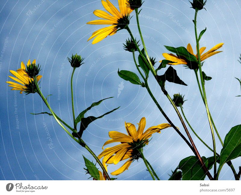 Sky Flower Blossom Stalk