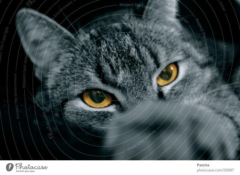 what eyes 1 Cat Black Animal Eyes