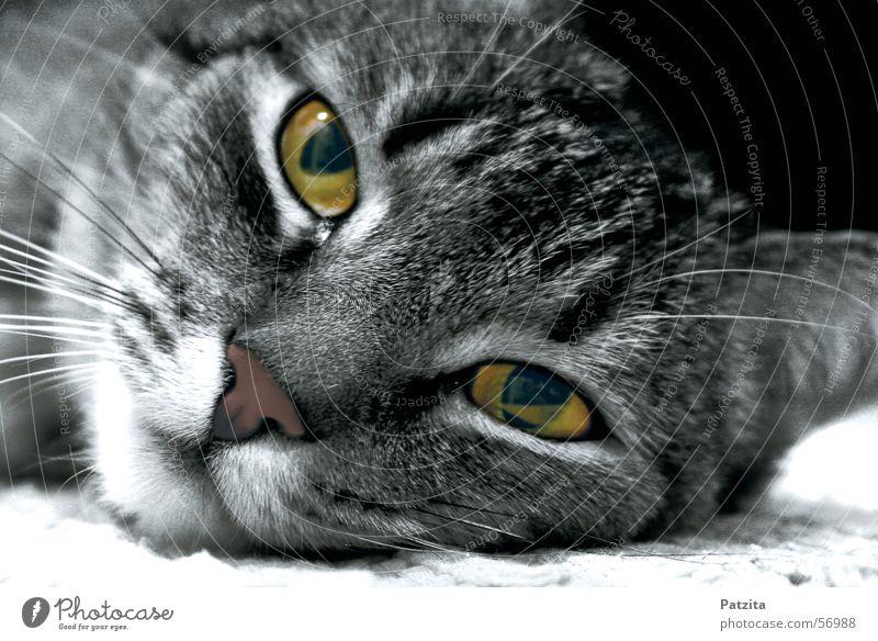 what eyes 2 Cat Black Animal Eyes