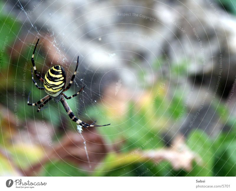 Legs Insect Spider Striped Spider's web Black-and-yellow argiope