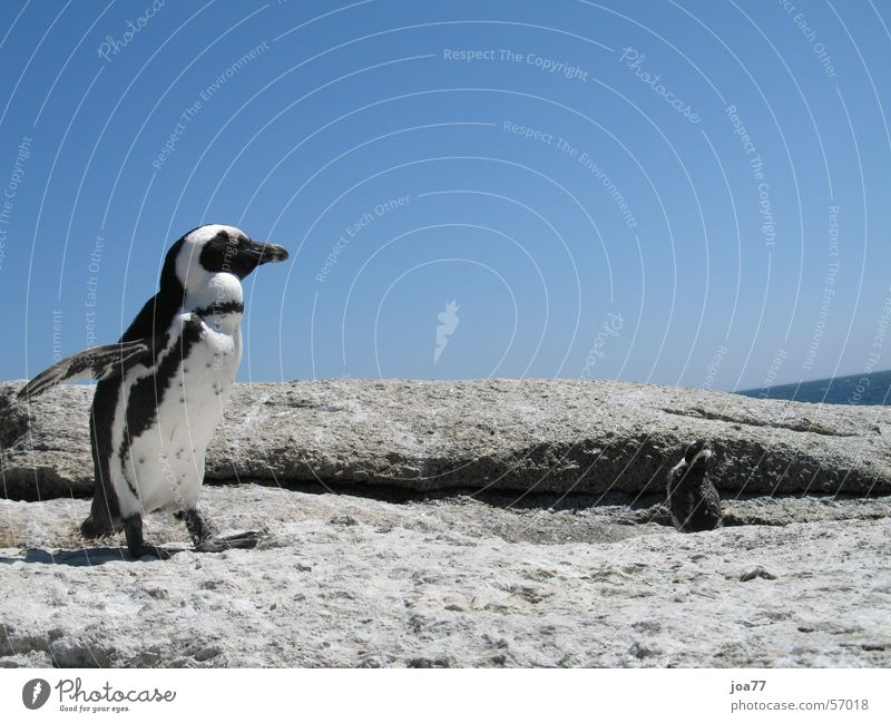 Sky Blue Dance Africa South Africa Penguin Cape of Good Hope Simon's Town