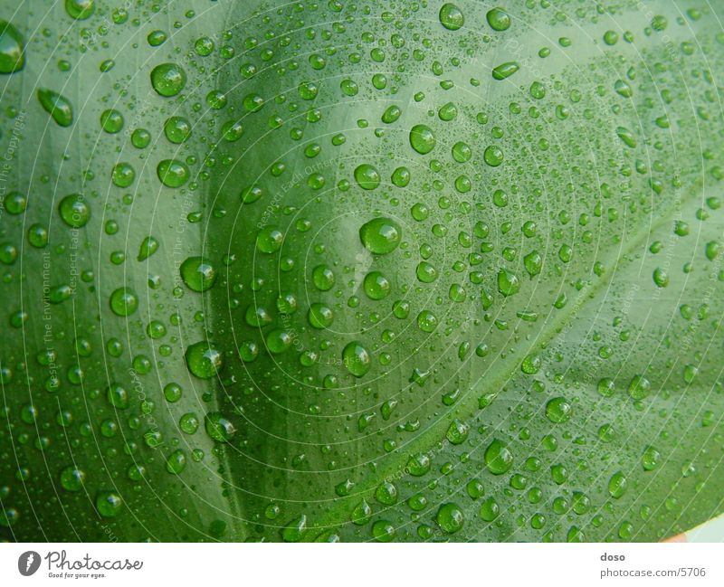 Green Leaf Rain Drops of water