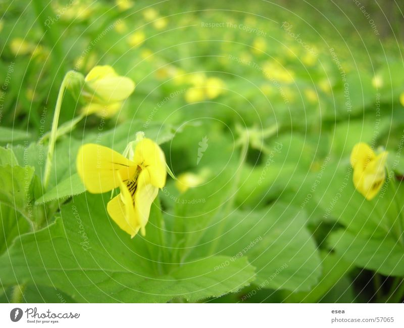Bloom Plant Yellow Gold plan plantlife riverside flowers meadow field happiness tranquility calming sunshine outdoor shooting forest