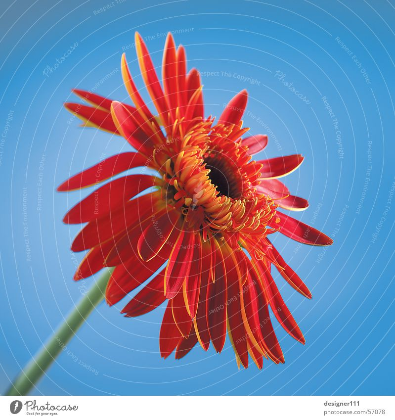 Gerbera in front of blue Flower Red Nature Digital photography Blue