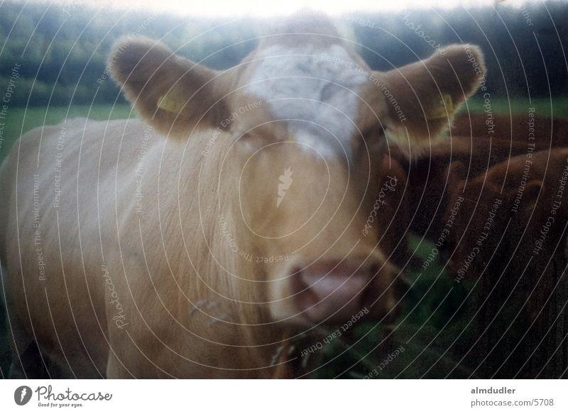 dreamy moo Cow Alpine pasture Soft focus lens species-appropriate animal husbandry angus beef